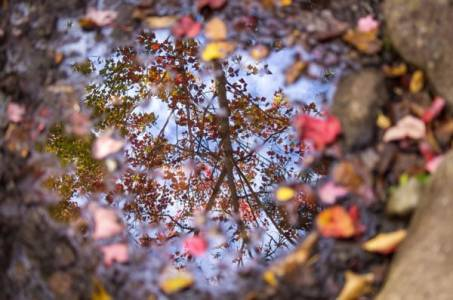 Tree and sky reflected in a small puddle surrounded by leaves.